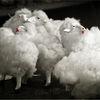 Sheep Friday