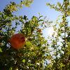 Granada / Pomegranate II