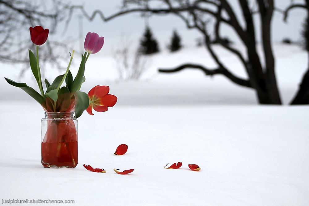 photoblog image Tulips and Rose