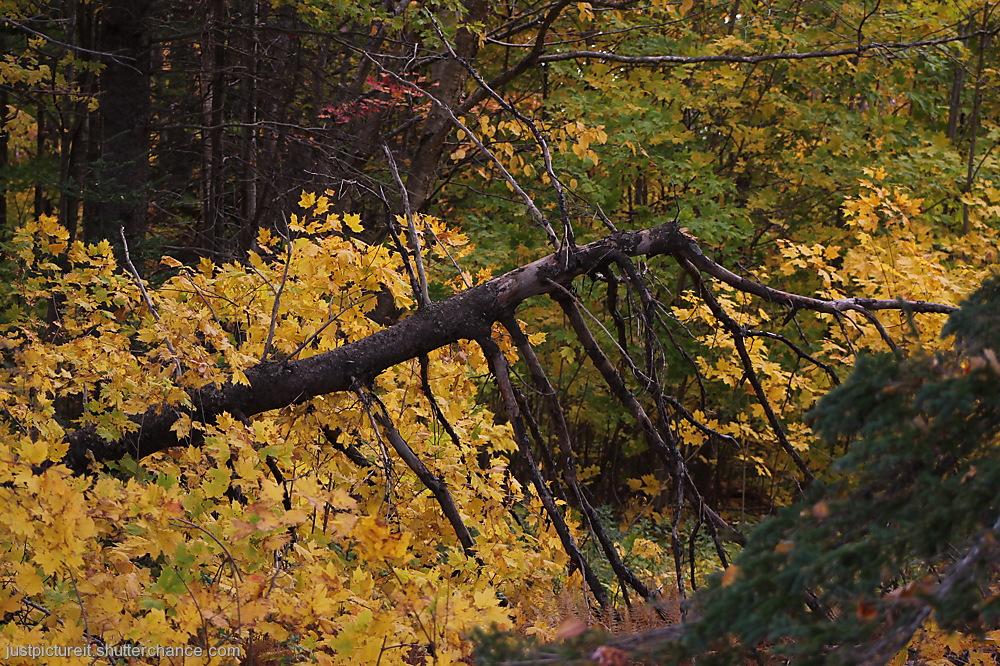 photoblog image Fallen Yellow Tree