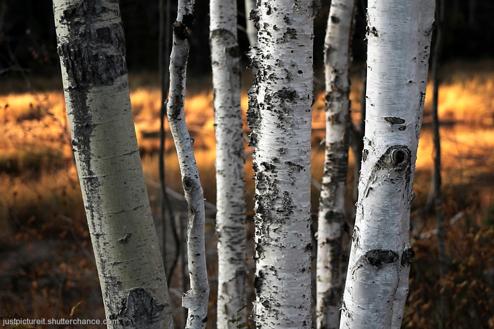 photoblog image Birch with Gold