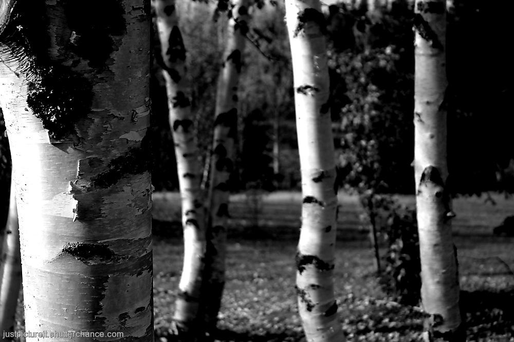 photoblog image Birch