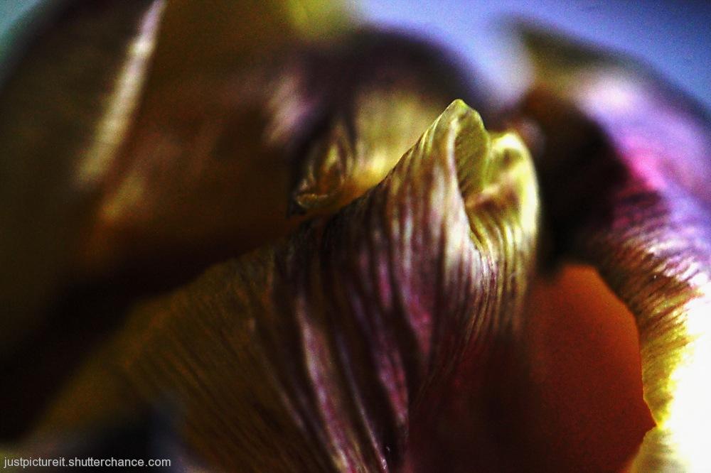 photoblog image Deep Tulips