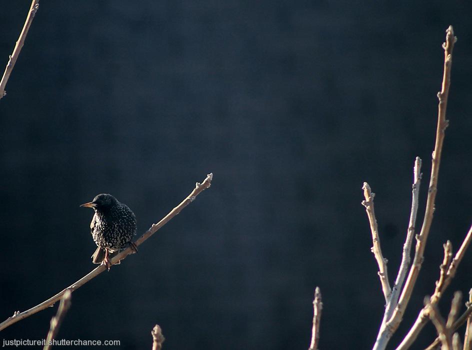photoblog image Starling