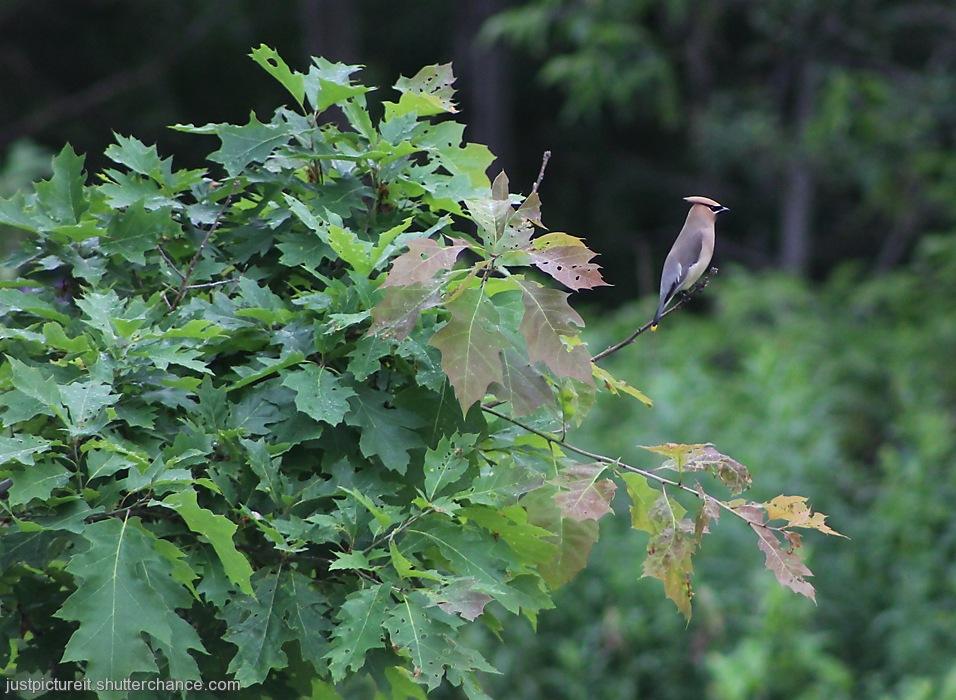 photoblog image Waxwing on Holey Oak