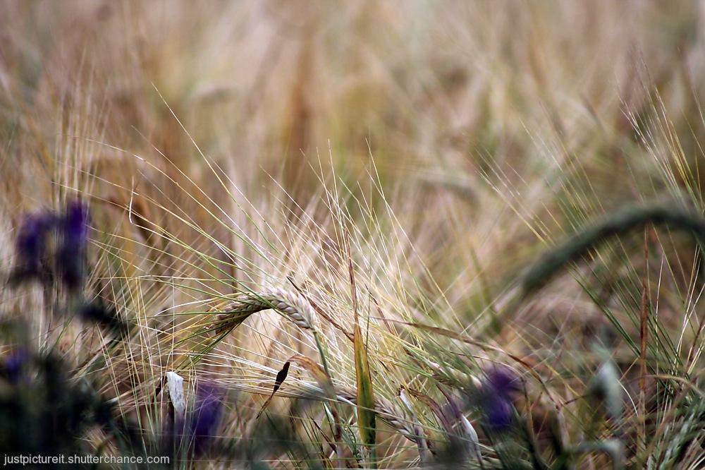 photoblog image Finding Barley