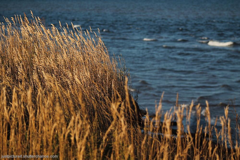 photoblog image Golden Grasses