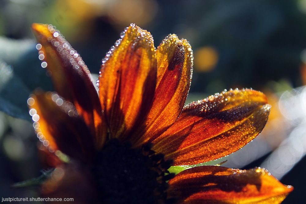 photoblog image Soaked Sunflowers