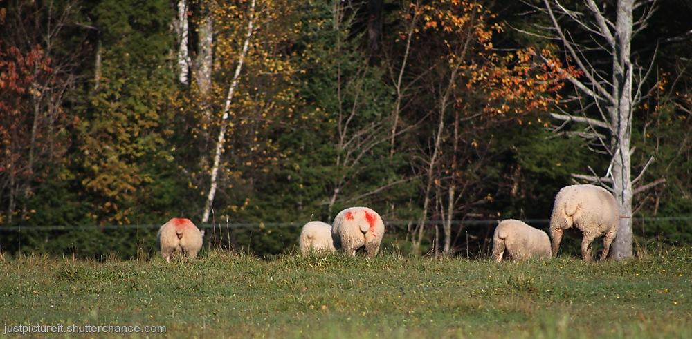 photoblog image Sheep Shape