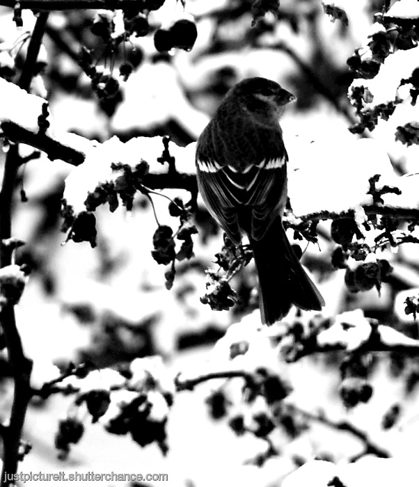 photoblog image Purple Finch