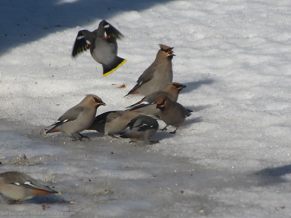 photoblog image The Real Cedar Waxwing