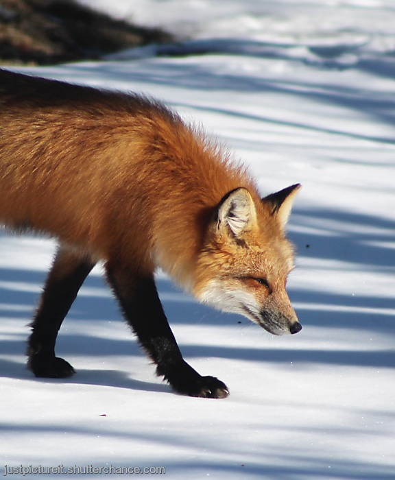 photoblog image Fox Friday
