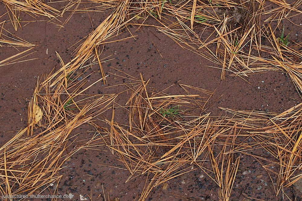 photoblog image Wet Pine Needles