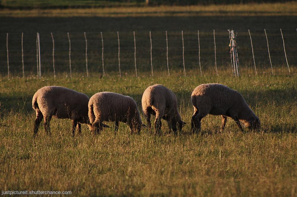 photoblog image Herd in the Community