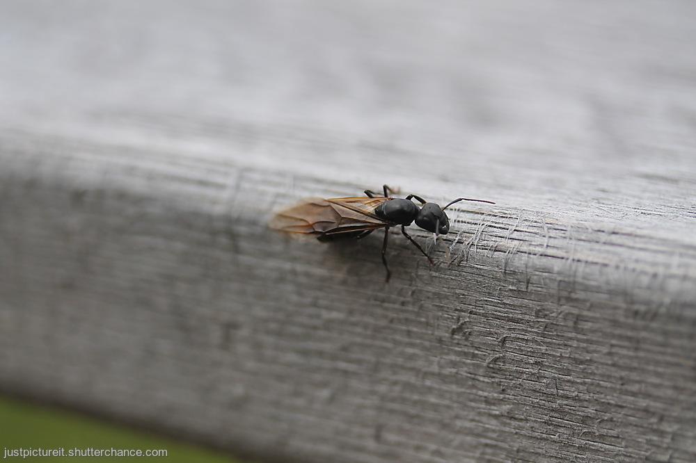 photoblog image Flying Ant