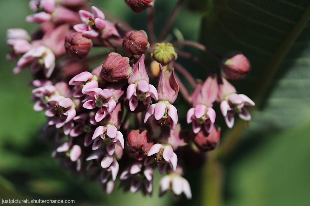 photoblog image Milkweed