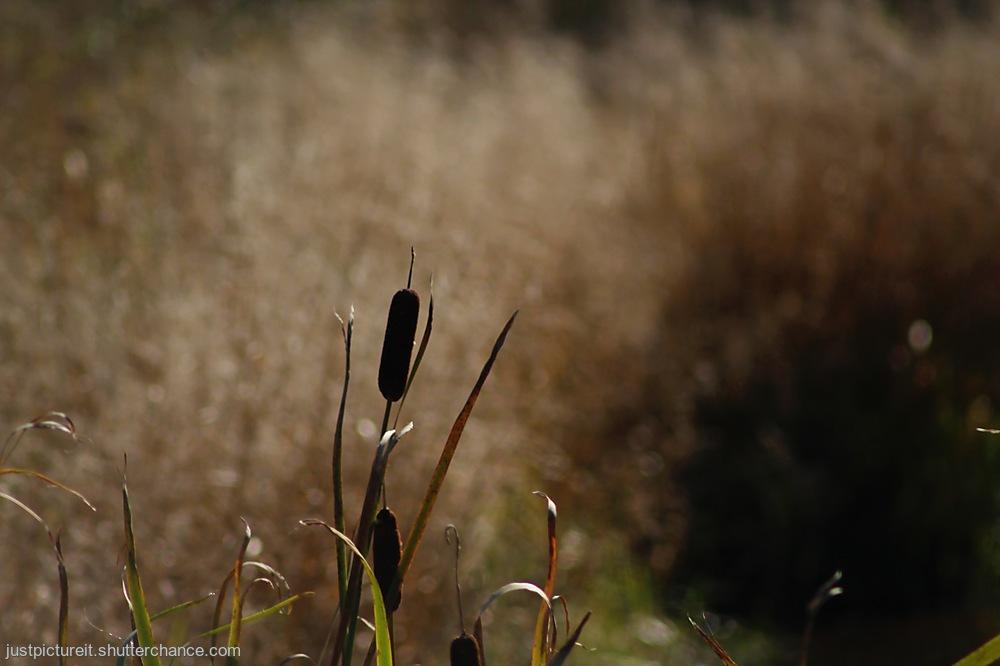 photoblog image Pond Grasses