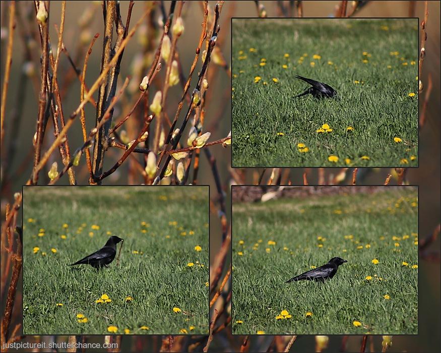 photoblog image Crow and Worm