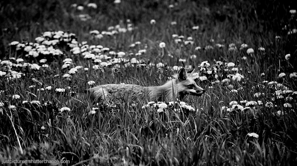 photoblog image Fox Trot 1