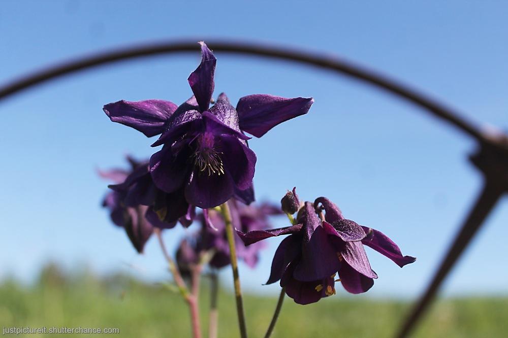 photoblog image Columbine