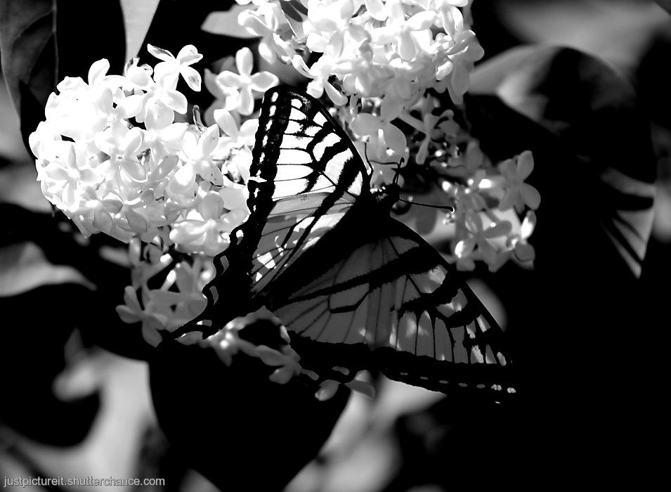 photoblog image Swallowtail