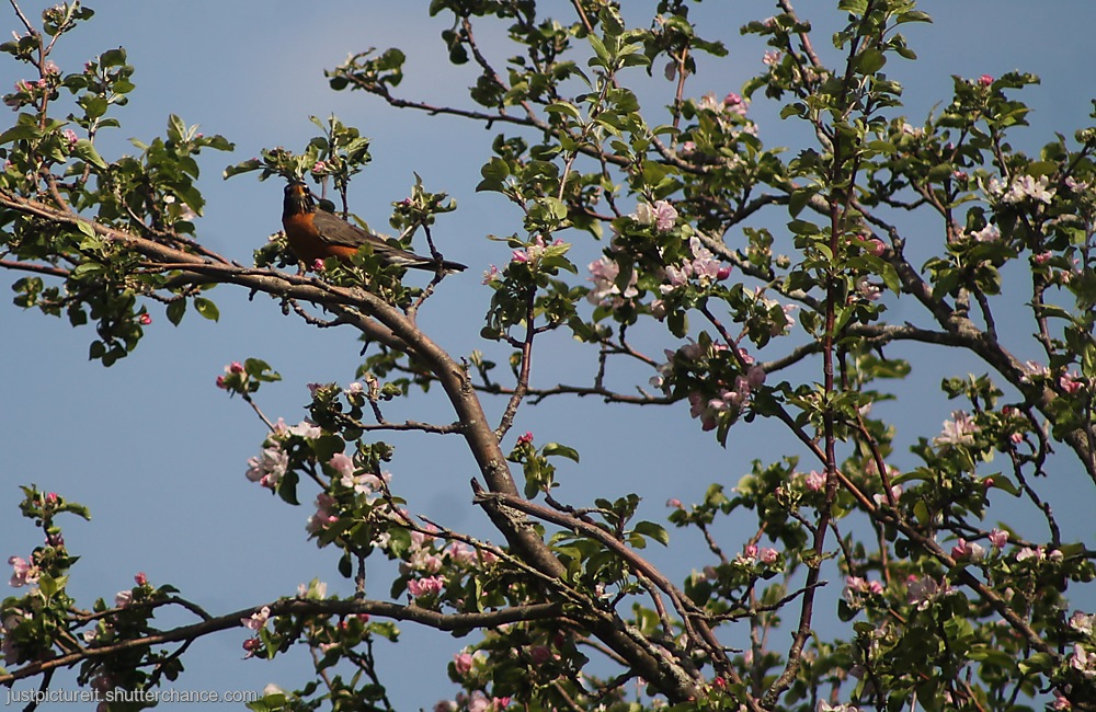 photoblog image Robin in Blossoms