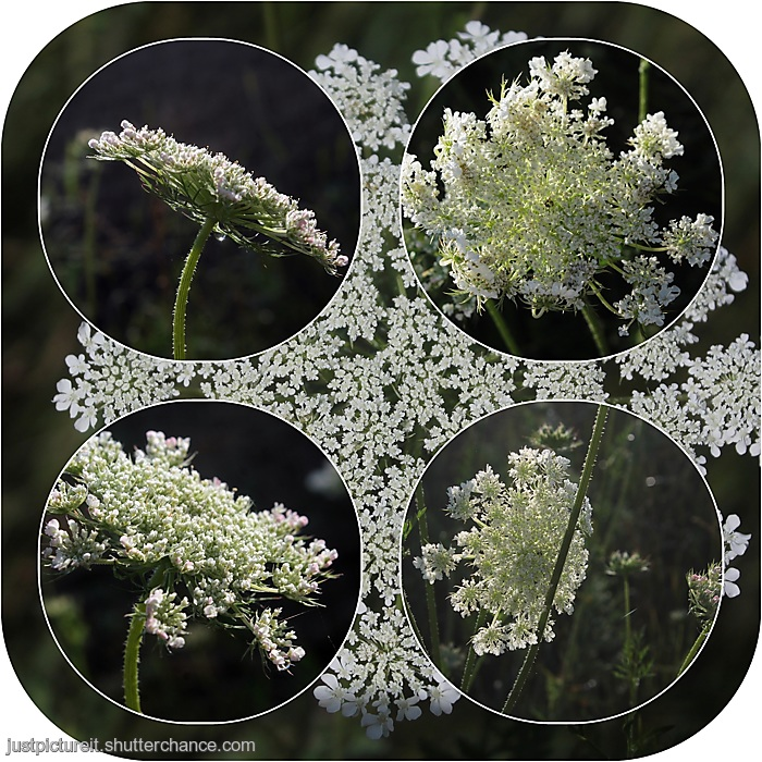 photoblog image Roundish larger Queen Anne's Lace.jpg