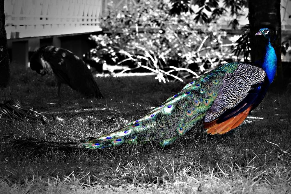 photoblog image Peacock