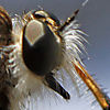Robber fly of some kind