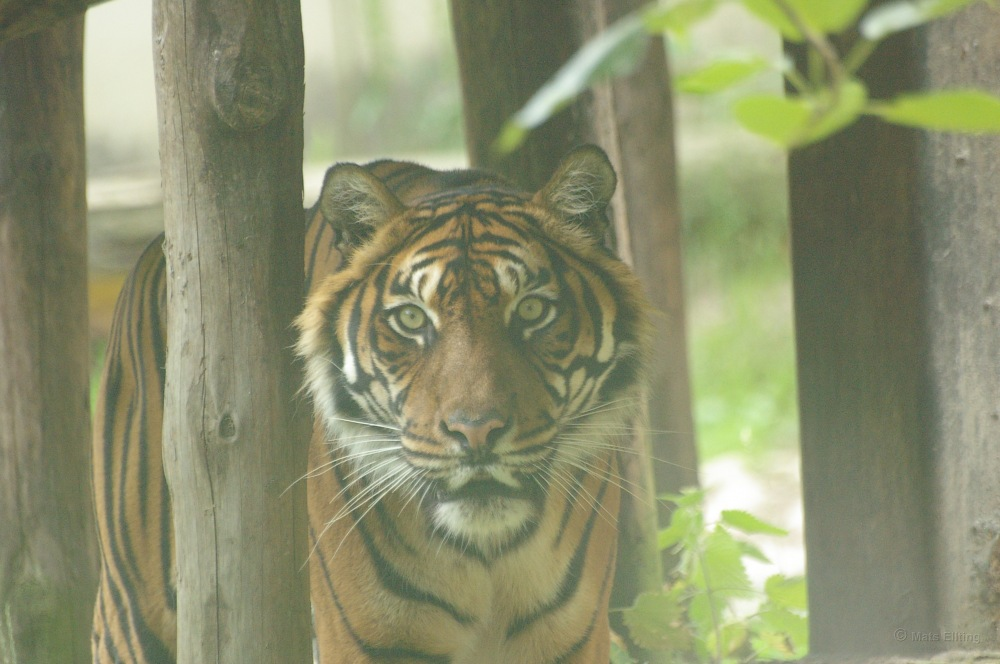 photoblog image Sumatratiger - Sumatran tiger