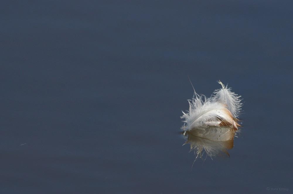 photoblog image Fjädrar - Feathers