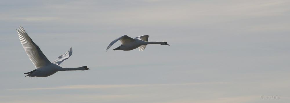 photoblog image Knölsvan - Mute swan (Cygnus olor) 3