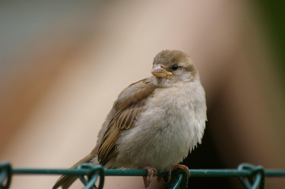 photoblog image Gråsparv  - House sparrow (Passer domesticus) 3