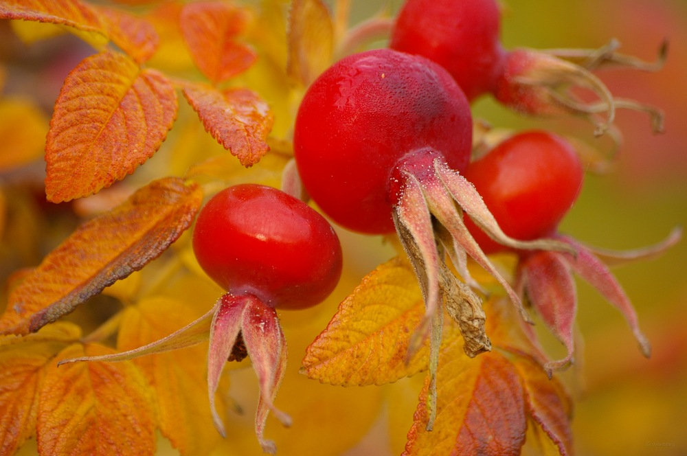 photoblog image Nypon - Rosehips (Rosa sp)