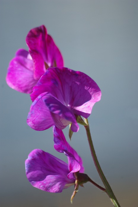photoblog image Luktärt - Sweet pea (Lathyrus odoratus) 5