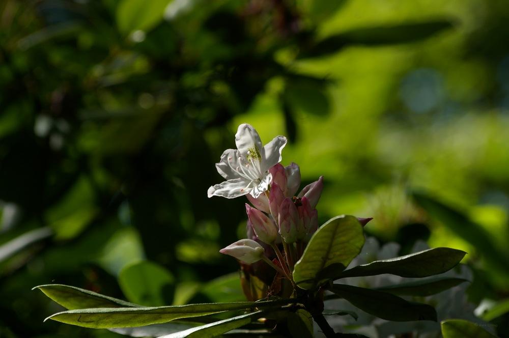photoblog image Rhododendron brachycarpum