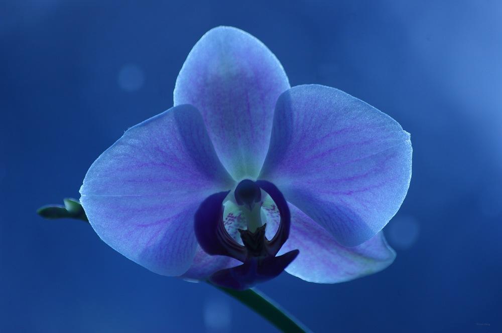 photoblog image Francis orkidé - Francis' orchid