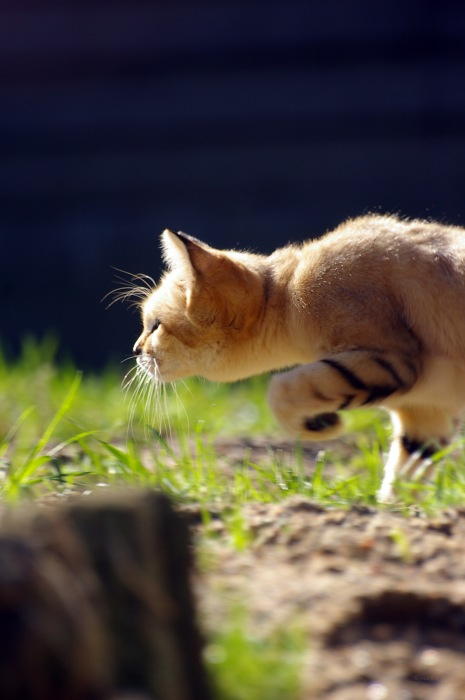 photoblog image Sandkatt - Sand cat (Felis margarita) 3
