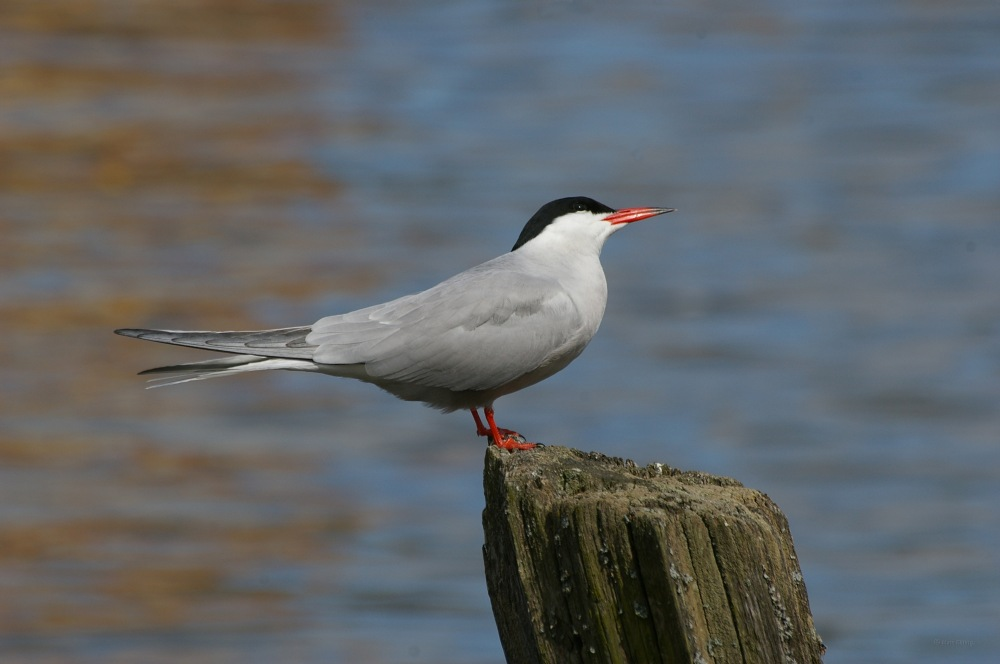 photoblog image Fisktärna - Common tern (Sterna hirundo) 2