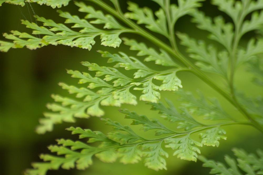 photoblog image Davallia canariensis
