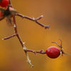 Nypon - Rosehips (Rosa sp) 4