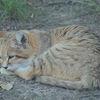 Sandkatt - Sand cat (Felis margarita) 16