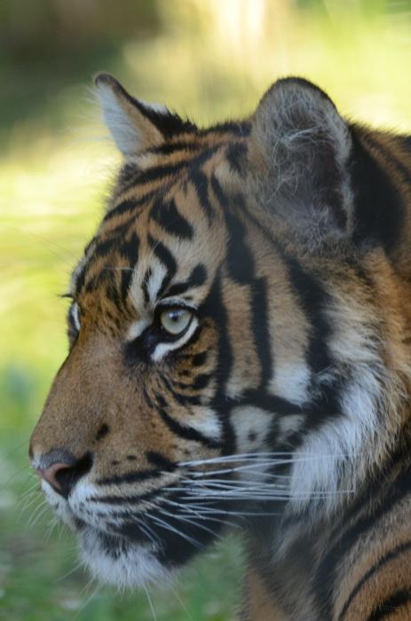photoblog image Sumatratiger - Sumatran tiger 5