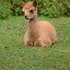 Alpacka - Alpaca (Vicugna pacos)