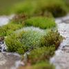 Mossa - Moss