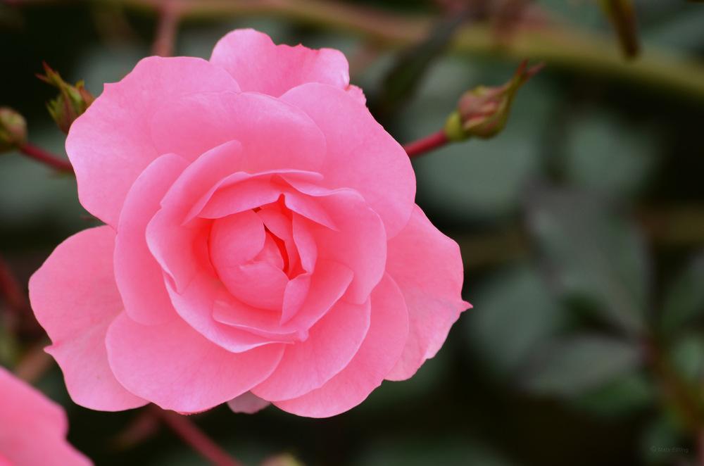 photoblog image Ros - Rose 26