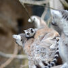 Ringsvanslemur - Ring-tailed lemur(Lemur catta) 3
