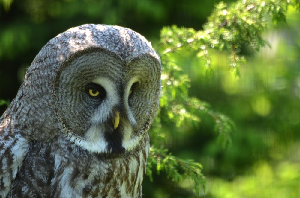 photoblog image Lappuggla - Great Grey Owl (Strix nebulosa)