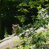 Varg - Eurasian Wolf (Canis lupus lupus)