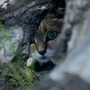 Sandkatt - Sand cat (Felis margarita) 18
